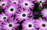 Purple Daisies by photoeye68, photography->flowers gallery