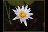 Waterlily by SusanVenter, Photography->Flowers gallery