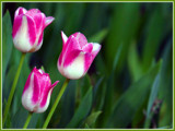 Les tulipes by noranda, Photography->Flowers gallery