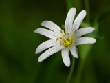 Stitchwort by pom1, Photography->Flowers gallery