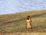 He Thinks He's a Prairie Dog by kidder, Photography->Animals gallery