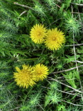 Dandelions by Tedi, photography->flowers gallery