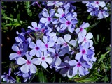 Blue Phlox by trixxie17, photography->flowers gallery