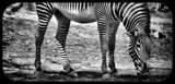 Wearing his stripes by mesmerized, contests->b/w challenge gallery