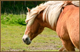 Zeeland Wild Horses 06, Haflinger by corngrowth, photography->animals gallery