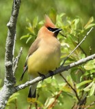 Cedar waxwing by GIGIBL, photography->birds gallery
