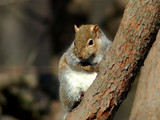 Grey Squirrel 2 by gerryp, Photography->Animals gallery