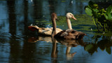 A Sweet Capture - Young Swans_second posting by tigger3, photography->birds gallery