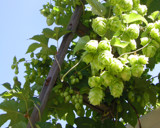 Climbing Hops by lesaint, photography->gardens gallery
