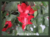 Merry Christmas by scorpie, Photography->Flowers gallery
