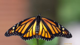 Newly Released Monarch by tigger3, photography->butterflies gallery