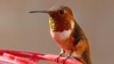 Hummingbird #1 by ryzst, photography->birds gallery
