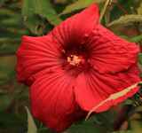 The Hibiscus-Red Beauty by tigger3, photography->flowers gallery