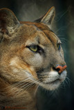 Cougar Beauty by heidlerr, photography->animals gallery