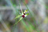 Spider Orchid by Samatar, Photography->Flowers gallery