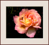 Sweet Rose by LynEve, photography->flowers gallery