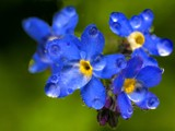 Forgetmenots2 by pom1, Photography->Flowers gallery