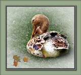 Resting Duck by LynEve, Photography->Birds gallery
