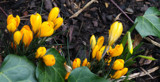 Let's Hear It For The Crocus! Again by braces, photography->flowers gallery