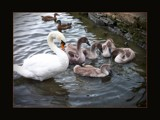 Cygnets' Lesson by LynEve, photography->birds gallery