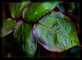 Raindrops on rose leaves by LynEve, photography->nature gallery