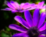 Dreamy Cineraria by LynEve, photography->flowers gallery