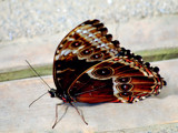 Dark Side Of The Butterfly by braces, Photography->Butterflies gallery