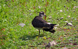 Young Lapwing by gonedigital, photography->birds gallery