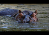 hip hip ... hippo by mia04, Photography->Animals gallery