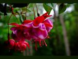 Deja Vu - RAW fuschias by phasmid, Photography->Flowers gallery