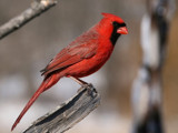 Portrait of a Cardinal by egggray, photography->birds gallery
