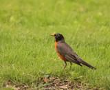 Bobbin Robin by tigger3, photography->birds gallery