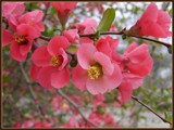 Chaenomeles by Galatea, Photography->Flowers gallery