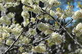 Plum blossom by Samatar, photography->flowers gallery