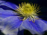 Blue Clematis by pom1, Photography->Flowers gallery