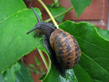 scoffing snail by the_runcorn_womble, Photography->Animals gallery