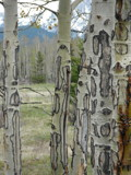 Funky Birch Trees in Kananaskis, Alberta by Bunni8, photography->nature gallery