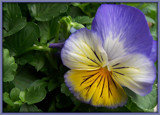 Bright Eye - Pansies 2011 by trixxie17, photography->flowers gallery