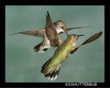 Hummingbird Aerial Dogfight II - Physical Contact by ksshutterbug, Photography->Birds gallery