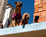 Dogs on a Roof by rhelms, Photography->Pets gallery