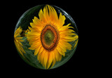 Sunflowers 4 by LynEve, Photography->Manipulation gallery