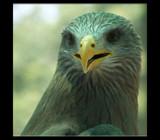 Bird of Prey - Rework.. by SusanVenter, Photography->Birds gallery