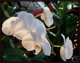 Orchids at Christmas by trixxie17, photography->flowers gallery