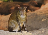 Agouti by Jimbobedsel, photography->animals gallery