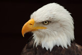 Bald Eagle by Paul_Gerritsen, Photography->Birds gallery