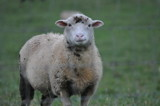 sheep by fivepatch, photography->animals gallery