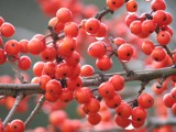 It was a very berry Christmas by Hottrockin, Photography->Nature gallery