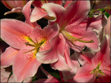 Sweet Lilies by LynEve, Photography->Flowers gallery