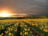 Daffodils by LANJOCKEY, Photography->Flowers gallery