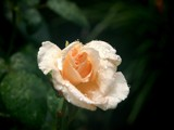 Peach Colored Rose by gerryp, Photography->Flowers gallery
